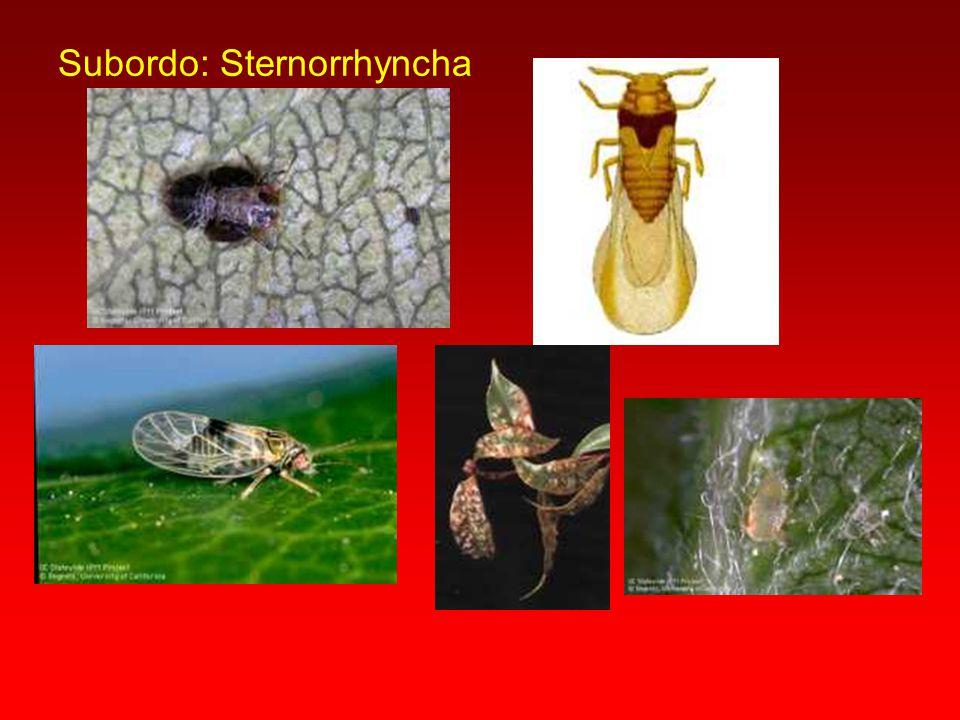 Subordo: Sternorrhyncha