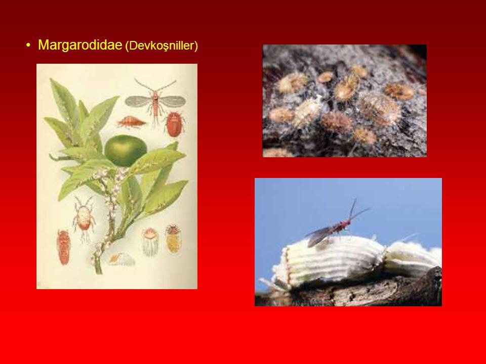 Margarodidae (Devkoşniller)