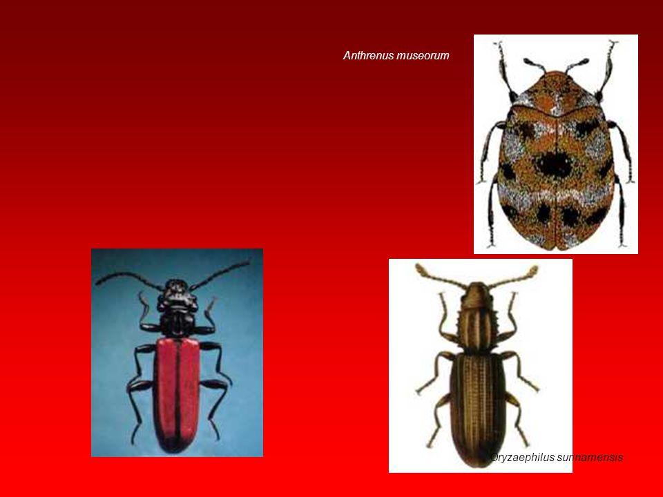Anthrenus museorum Oryzaephilus surinamensis