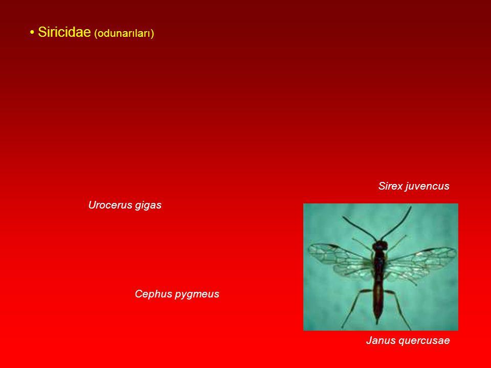 Siricidae (odunarıları)