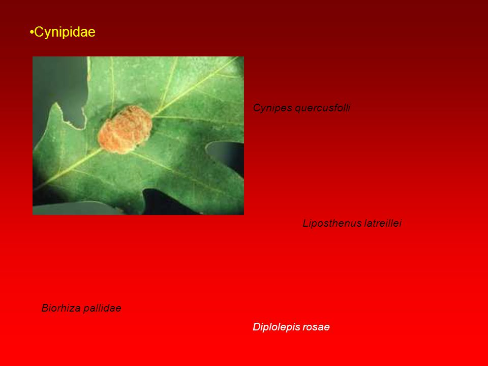 Cynipidae Cynipes quercusfolli Liposthenus latreillei