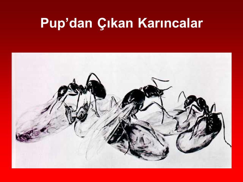 Pup'dan Çıkan Karıncalar