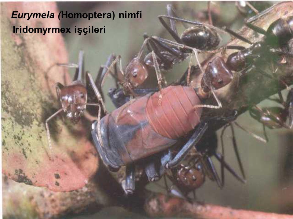 Eurymela (Homoptera) nimfi