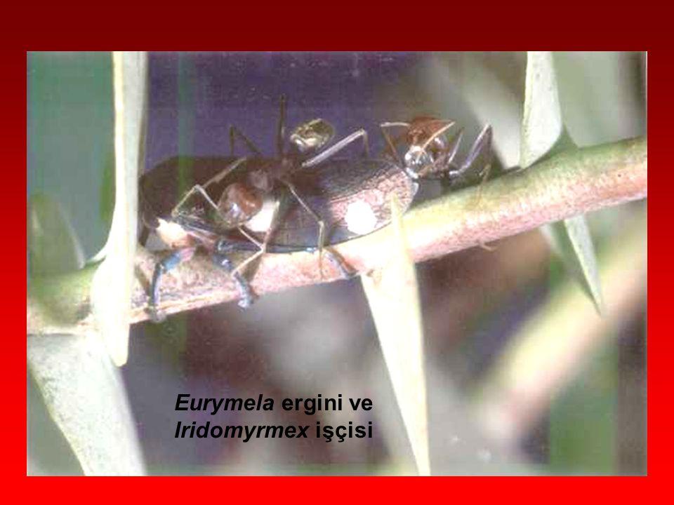 Eurymela ergini ve Iridomyrmex işçisi