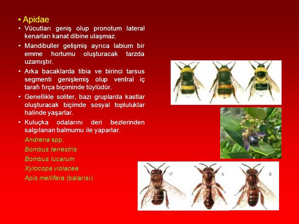 Apidae Vücutları geniş olup pronotum lateral kenarları kanat dibine ulaşmaz.