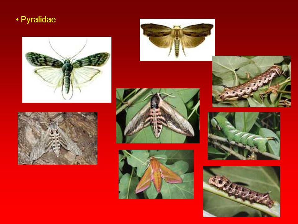 Pyralidae