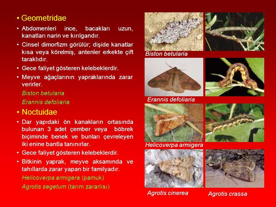 Geometridae Noctuidae