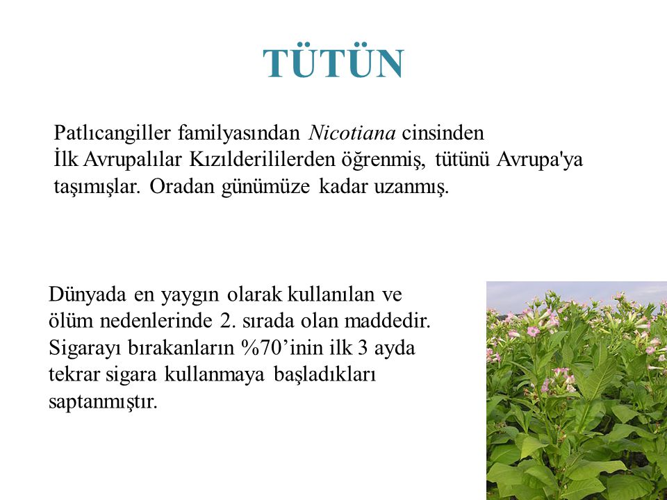 TÜTÜN Patlıcangiller familyasından Nicotiana cinsinden