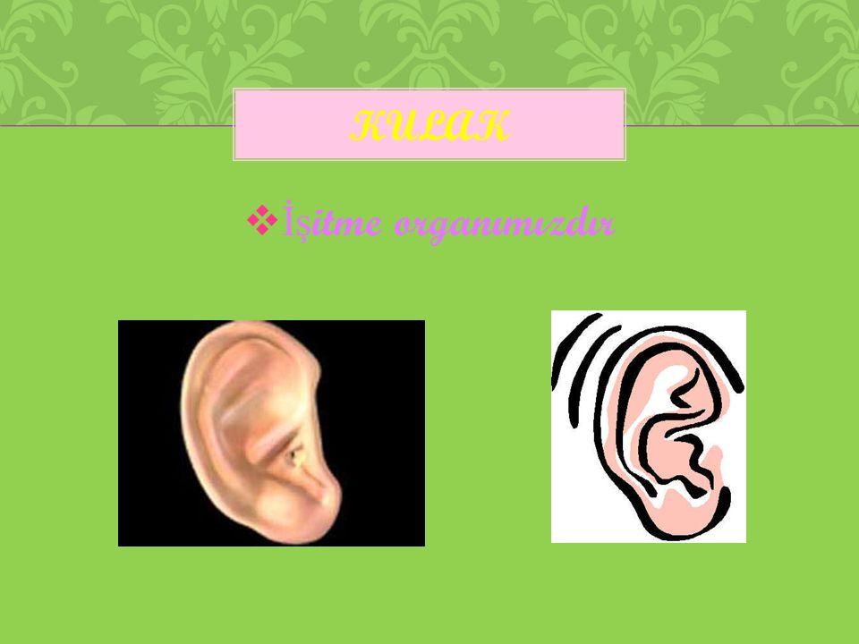 kulak İşitme organımızdır