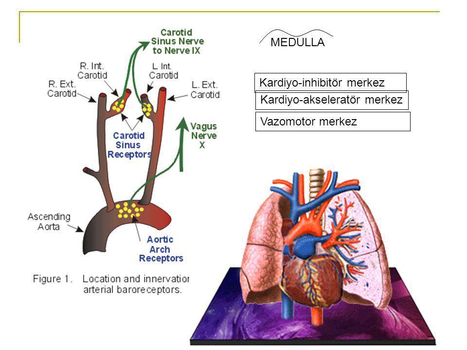 MEDULLA Kardiyo-inhibitör merkez Kardiyo-akseleratör merkez Vazomotor merkez