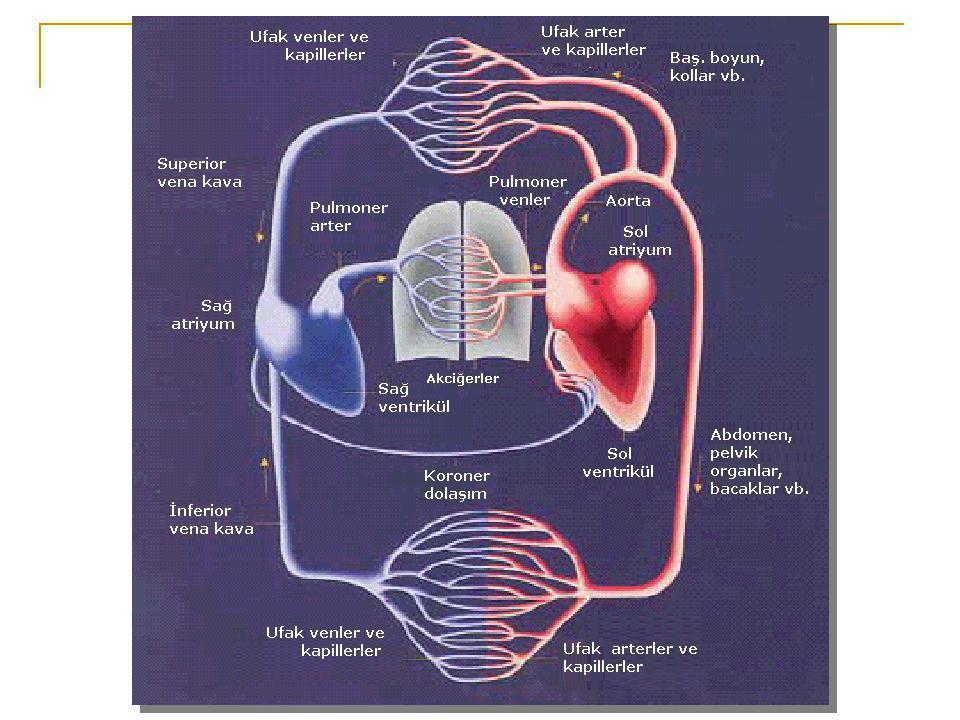 Atriyumlar birer tüp geçit olarak görev görürken ventriküller asıl pompalardır.