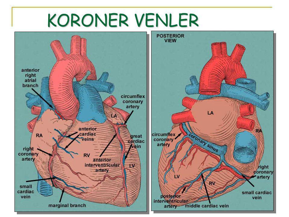 KORONER VENLER Miyokardın perfüzyonu tamamlandığında kan, koroner sinüs ve anterior kardiyak venler yoluyla sağ atriyuma döner.