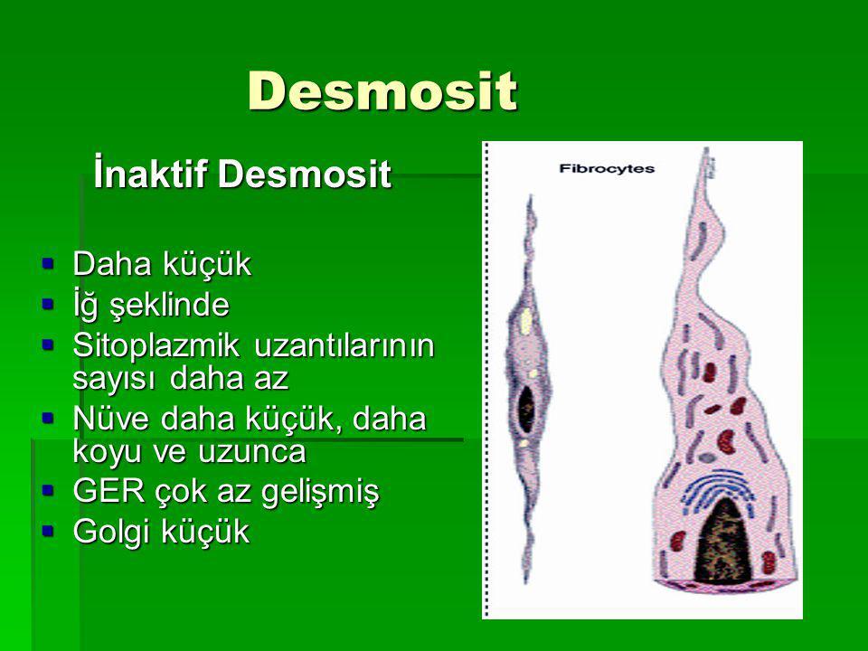 Desmosit İnaktif Desmosit Daha küçük İğ şeklinde