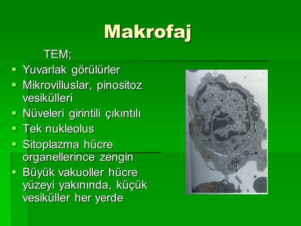 Makrofaj TEM; Yuvarlak görülürler