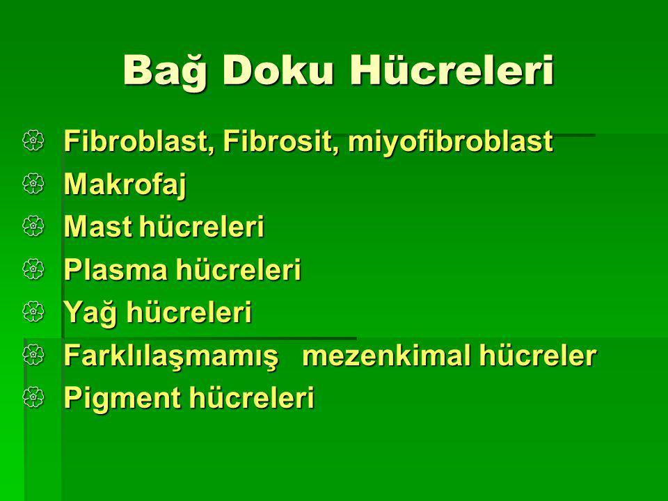 Bağ Doku Hücreleri Fibroblast, Fibrosit, miyofibroblast Makrofaj