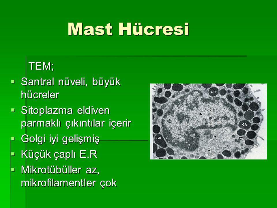 Mast Hücresi TEM; Santral nüveli, büyük hücreler