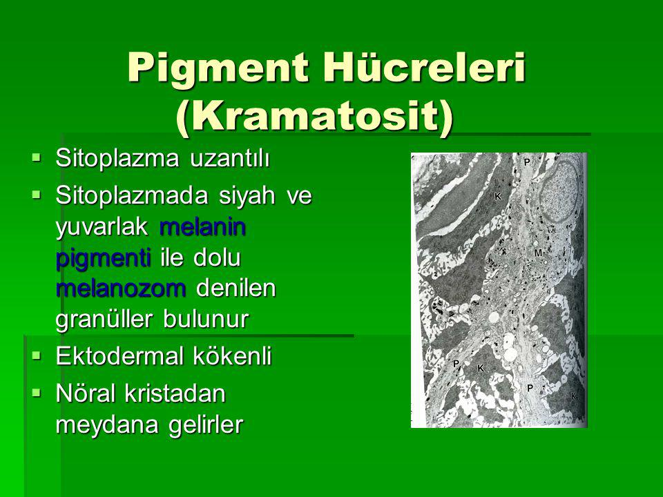 Pigment Hücreleri (Kramatosit)