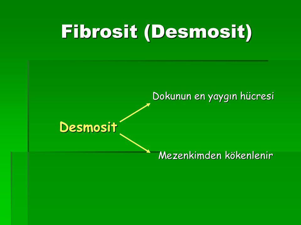 Fibrosit (Desmosit) Desmosit Dokunun en yaygın hücresi