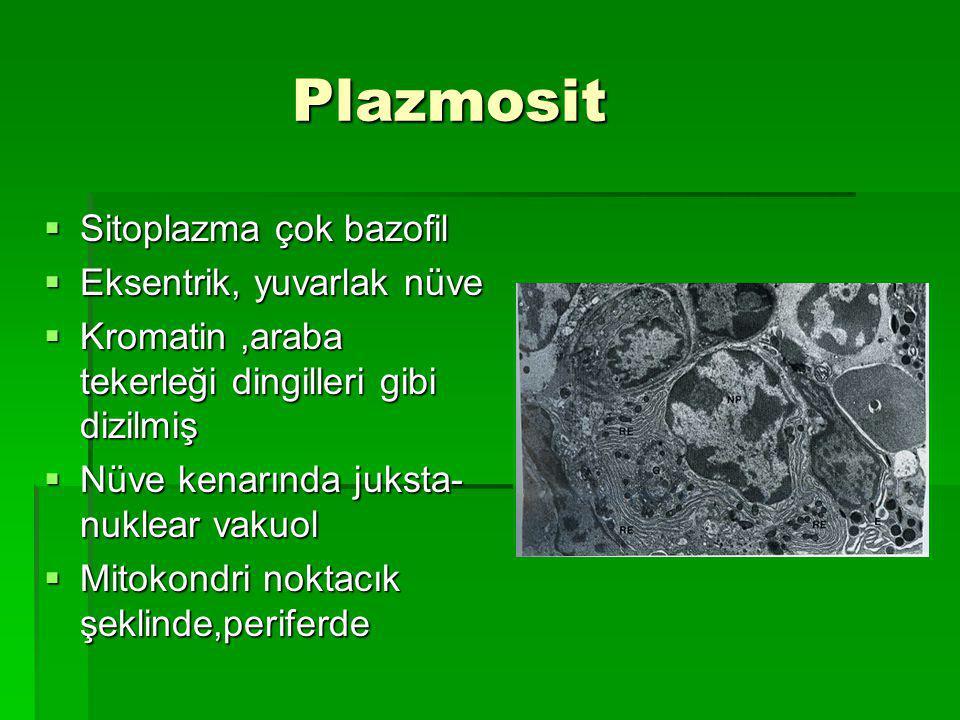 Plazmosit Sitoplazma çok bazofil Eksentrik, yuvarlak nüve