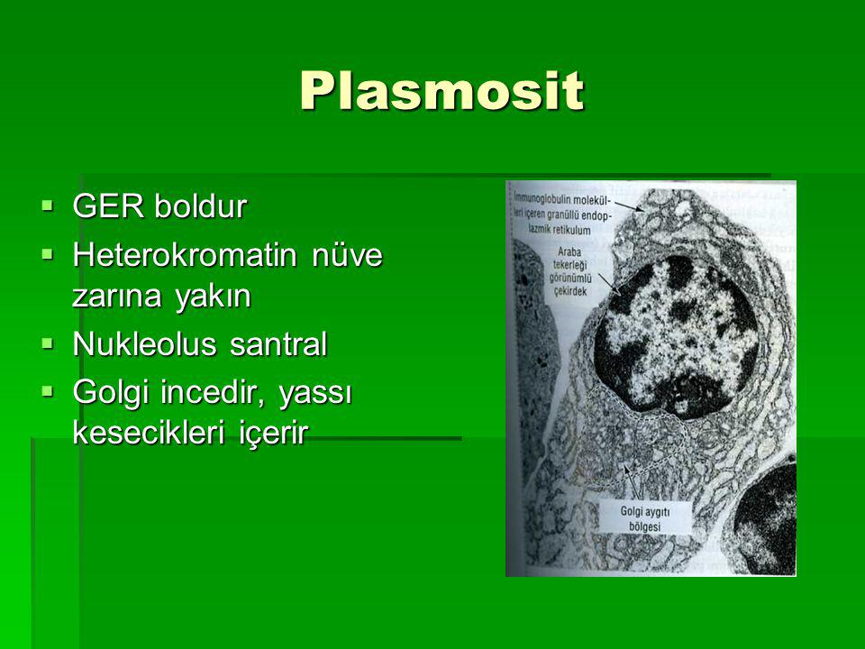 Plasmosit GER boldur Heterokromatin nüve zarına yakın