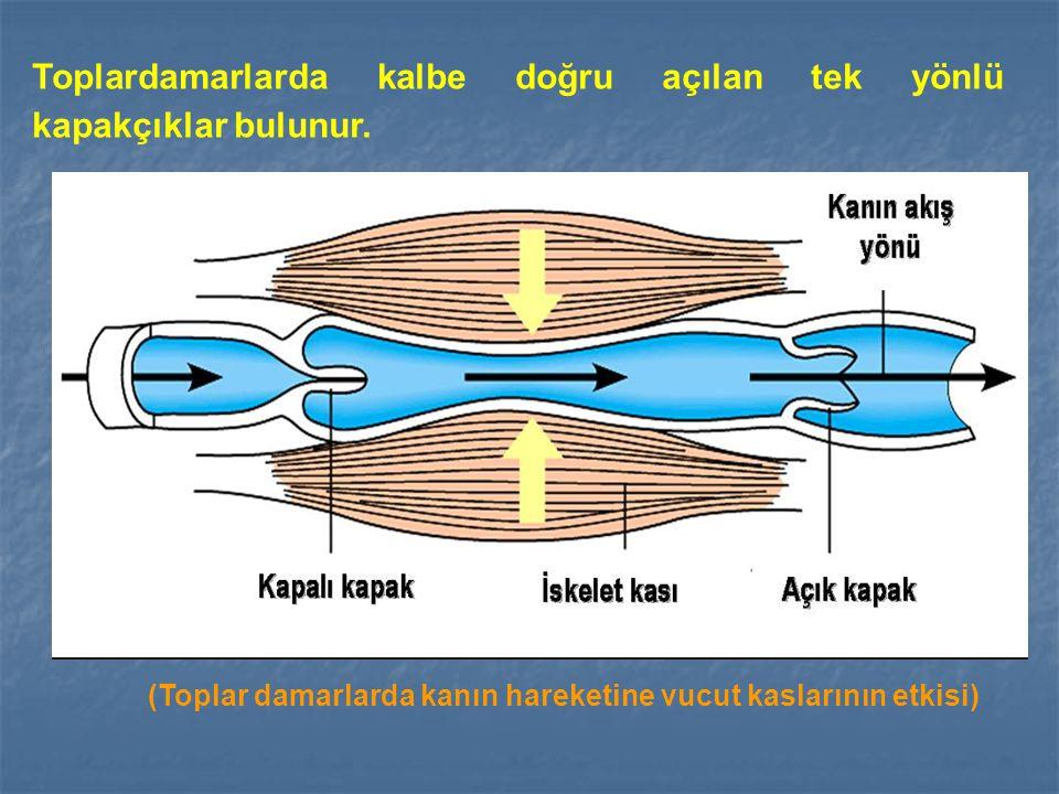 Toplardamarlarda kalbe doğru açılan tek yönlü kapakçıklar bulunur.