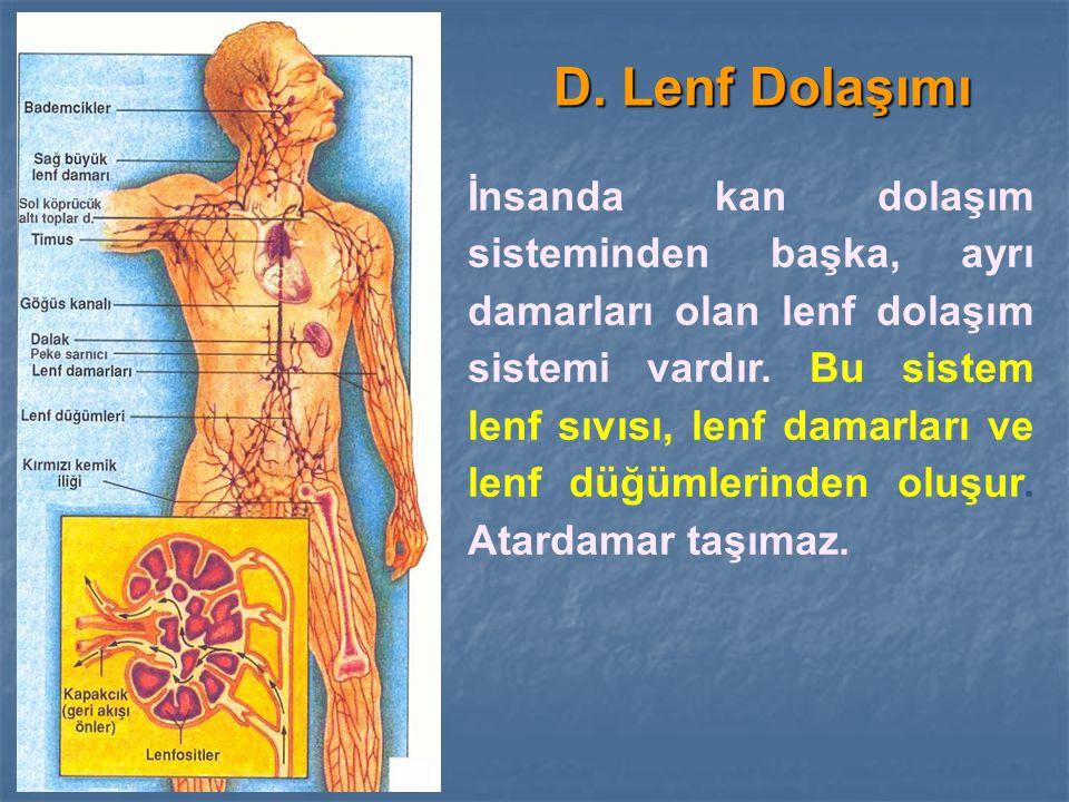 D. Lenf Dolaşımı