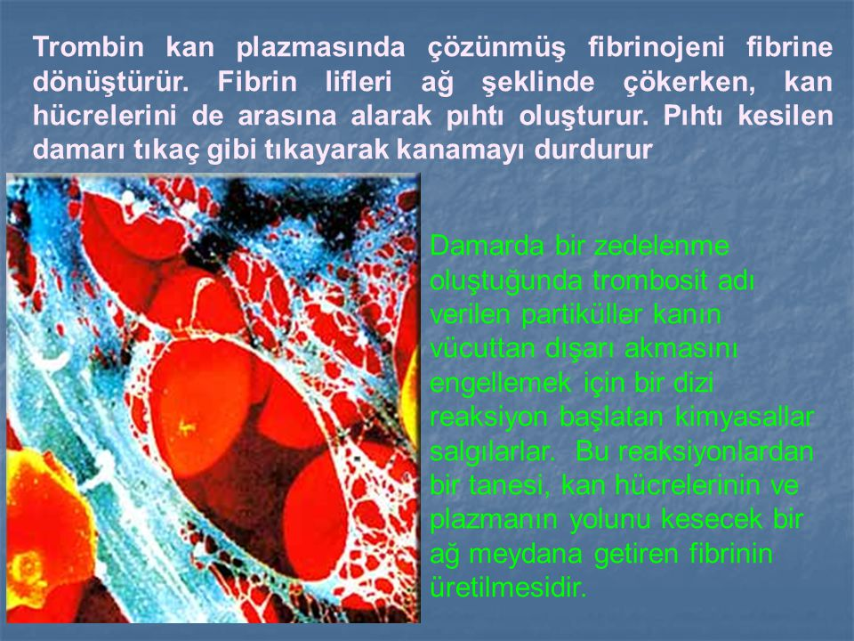 Trombin kan plazmasında çözünmüş fibrinojeni fibrine dönüştürür