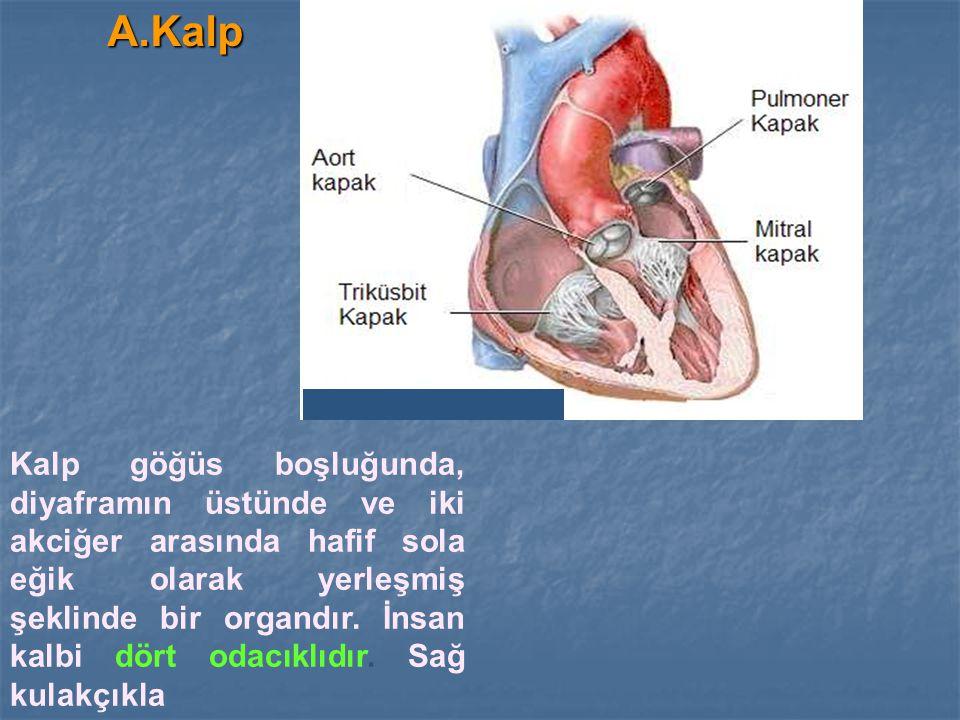 A.Kalp