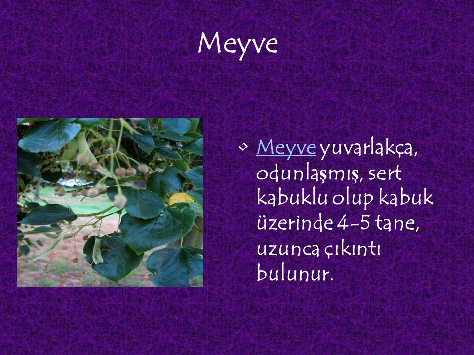 Meyve Meyve yuvarlakça, odunlaşmış, sert kabuklu olup kabuk üzerinde 4-5 tane, uzunca çıkıntı bulunur.