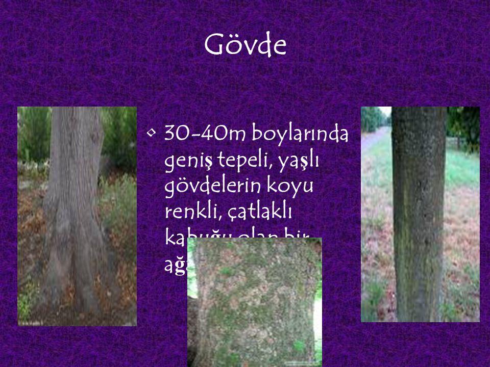 Gövde 30-40m boylarında geniş tepeli, yaşlı gövdelerin koyu renkli, çatlaklı kabuğu olan bir ağaçtır.