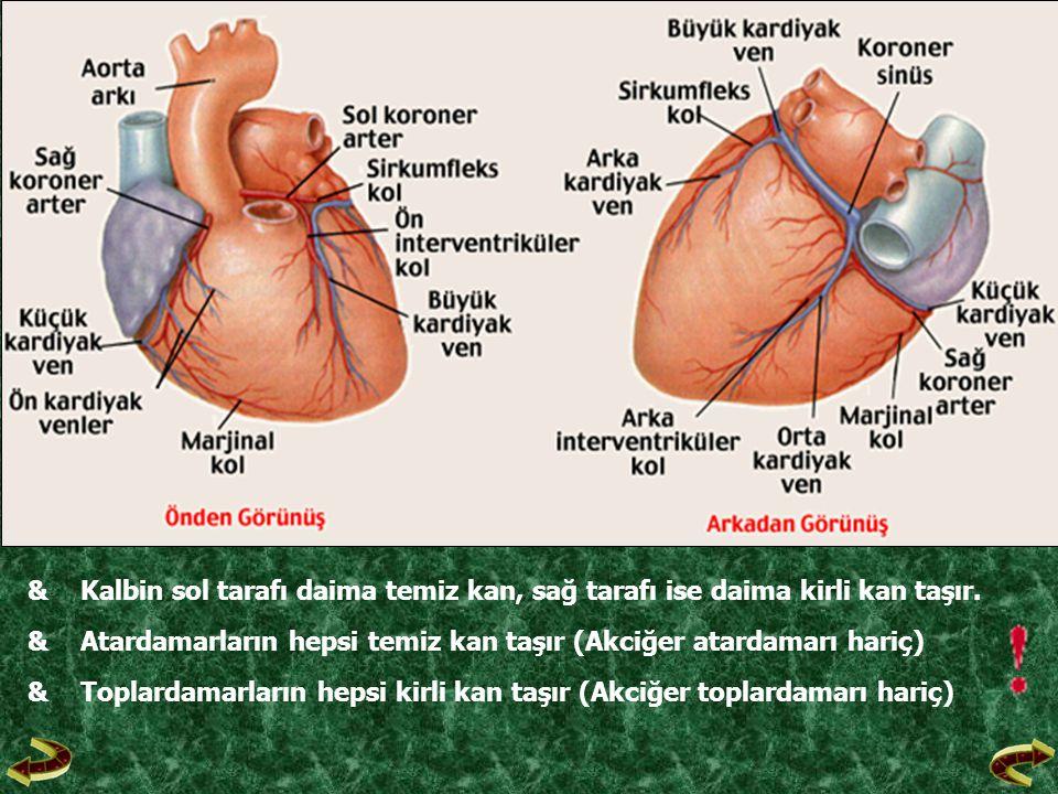& Kalbin sol tarafı daima temiz kan, sağ tarafı ise daima kirli kan taşır.