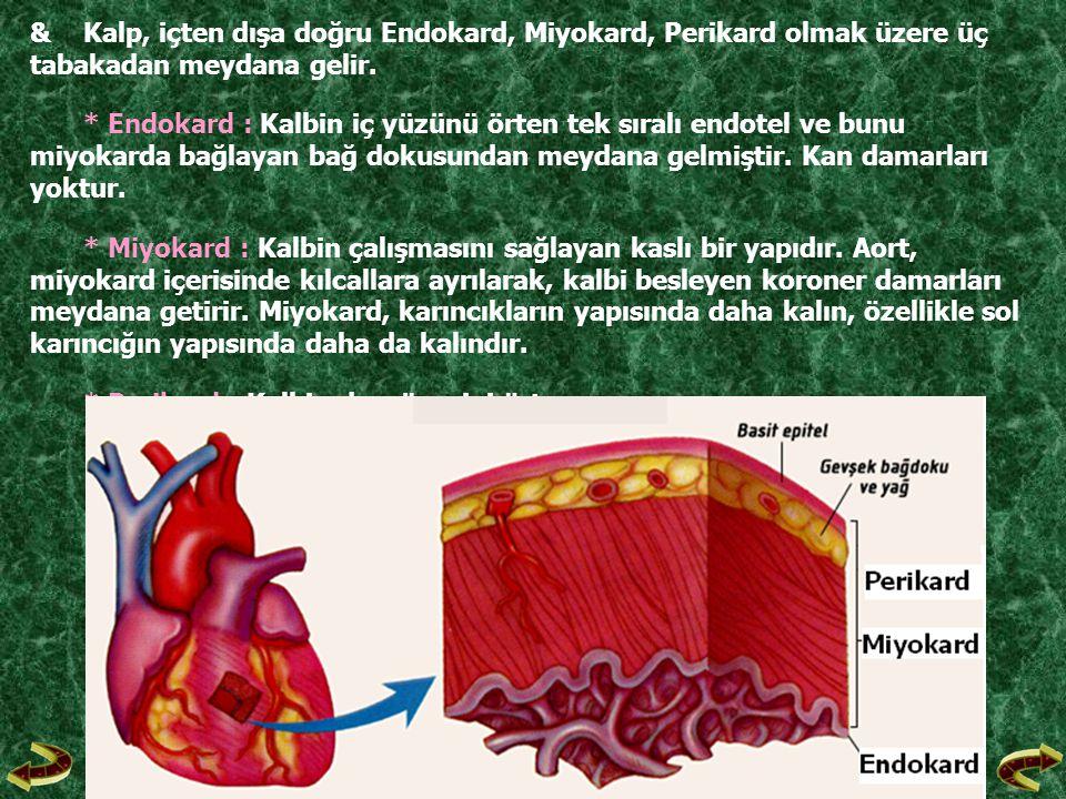 & Kalp, içten dışa doğru Endokard, Miyokard, Perikard olmak üzere üç tabakadan meydana gelir.