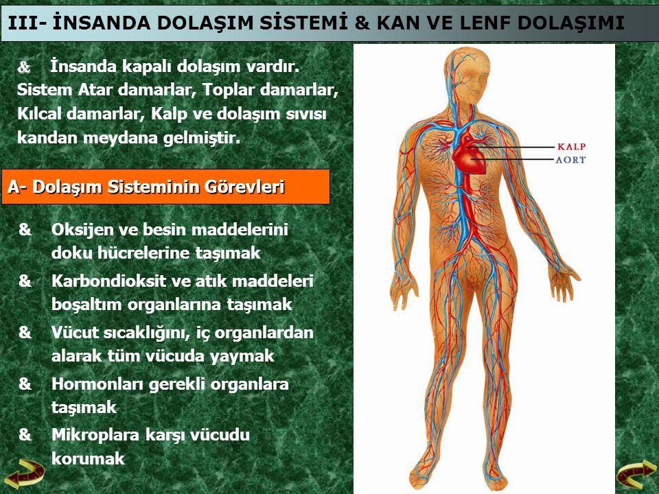 III- İNSANDA DOLAŞIM SİSTEMİ & KAN VE LENF DOLAŞIMI