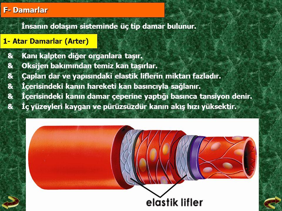 F- Damarlar İnsanın dolaşım sisteminde üç tip damar bulunur.