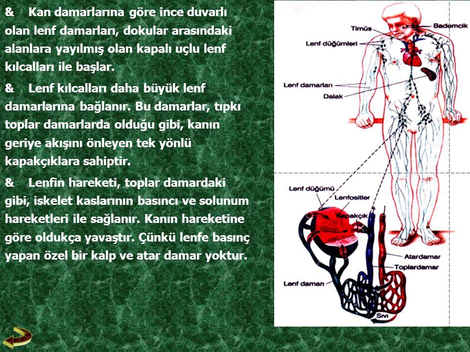 & Kan damarlarına göre ince duvarlı olan lenf damarları, dokular arasındaki alanlara yayılmış olan kapalı uçlu lenf kılcalları ile başlar.