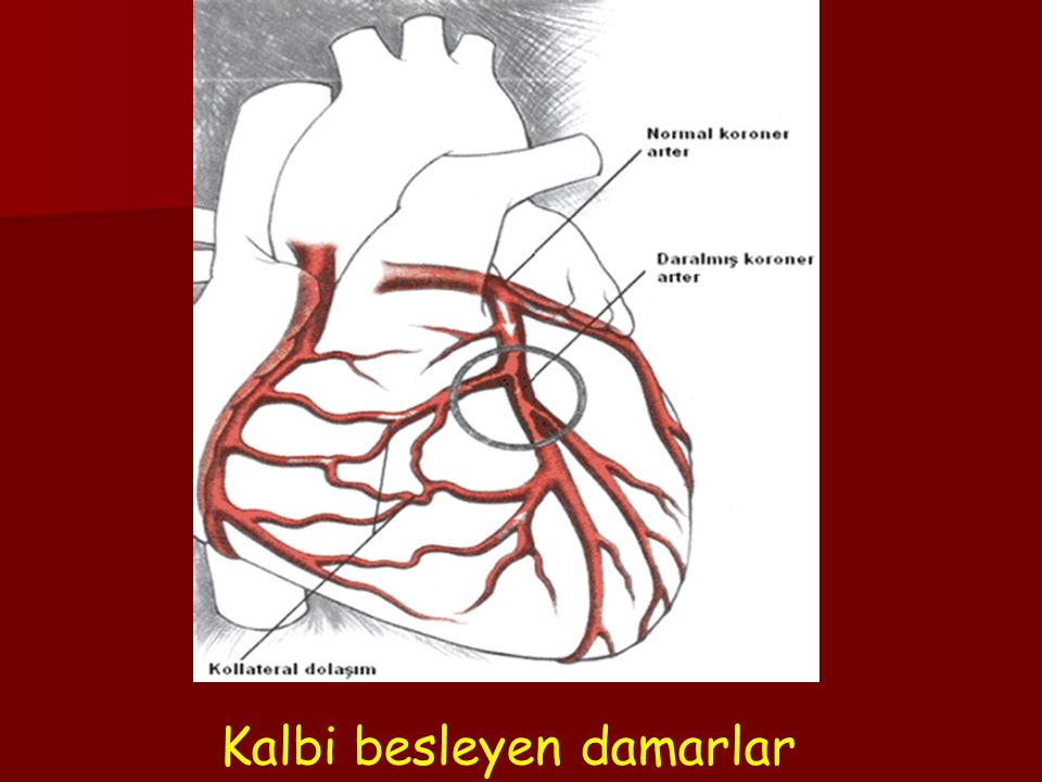 Kalbi besleyen damarlar