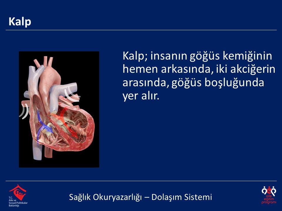 Kalp; insanın göğüs kemiğinin hemen arkasında, iki akciğerin