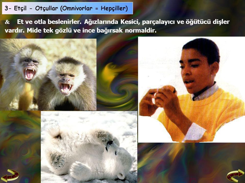3- Etçil - Otçullar (Omnivorlar = Hepçiller)