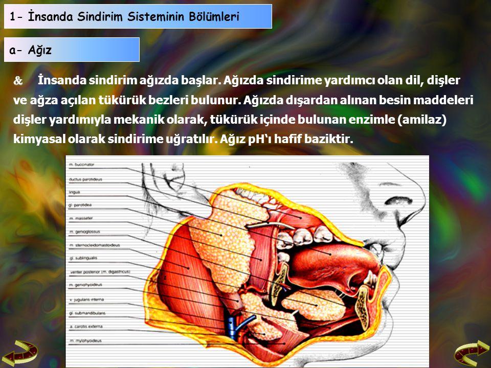 1- İnsanda Sindirim Sisteminin Bölümleri