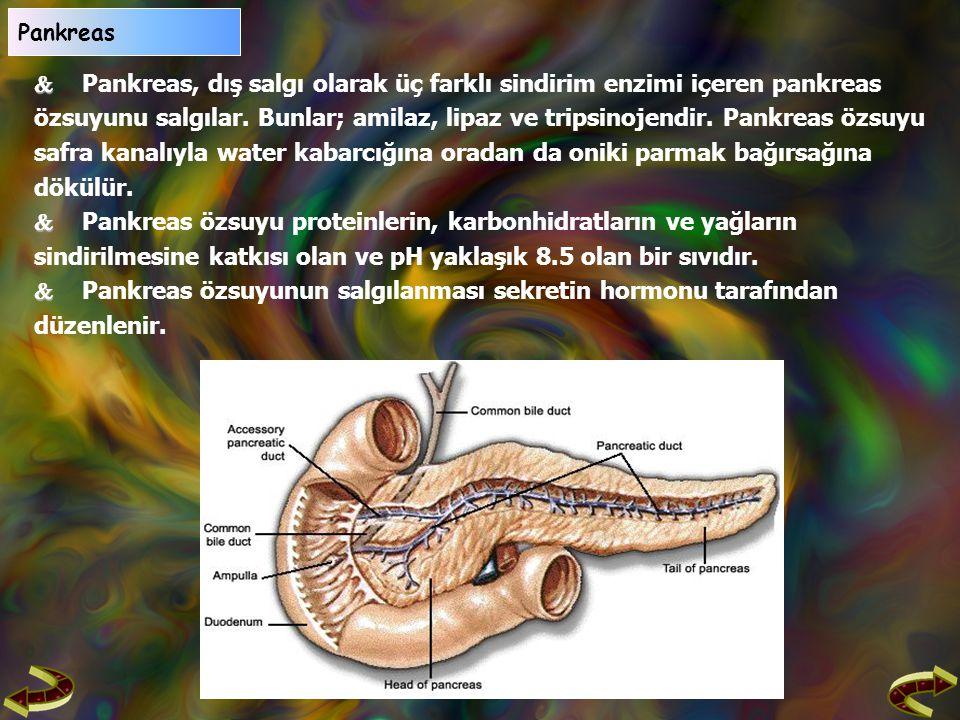  Pankreas, dış salgı olarak üç farklı sindirim enzimi içeren pankreas