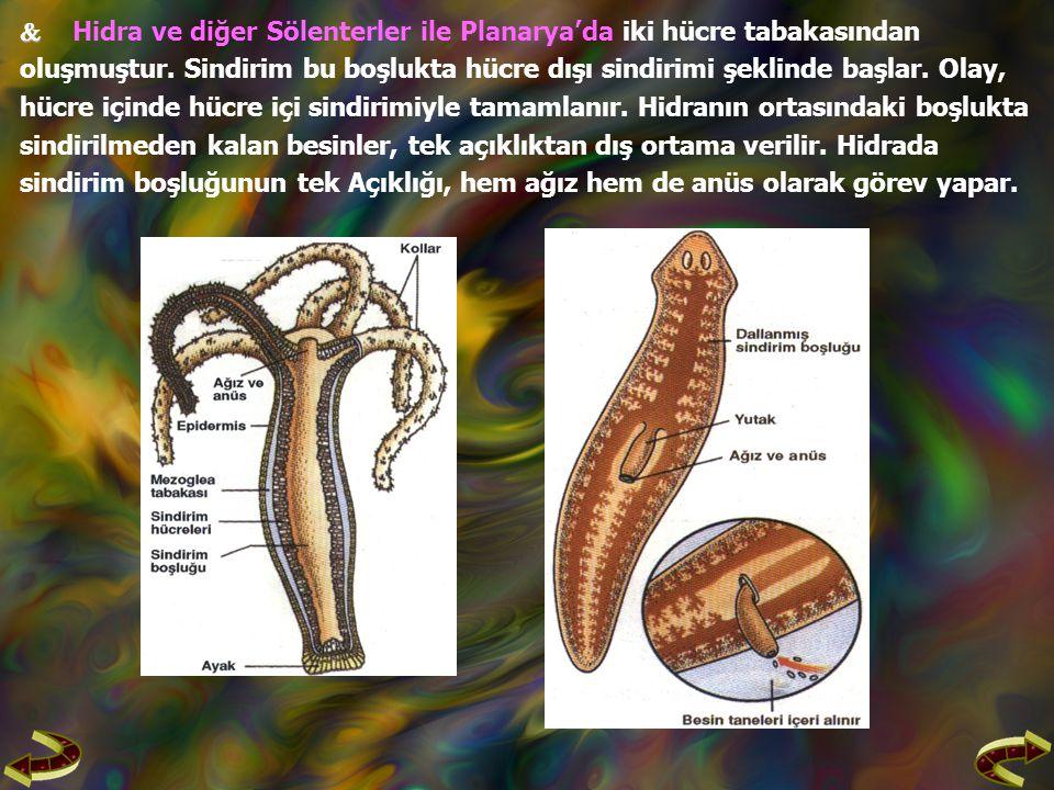  Hidra ve diğer Sölenterler ile Planarya'da iki hücre tabakasından
