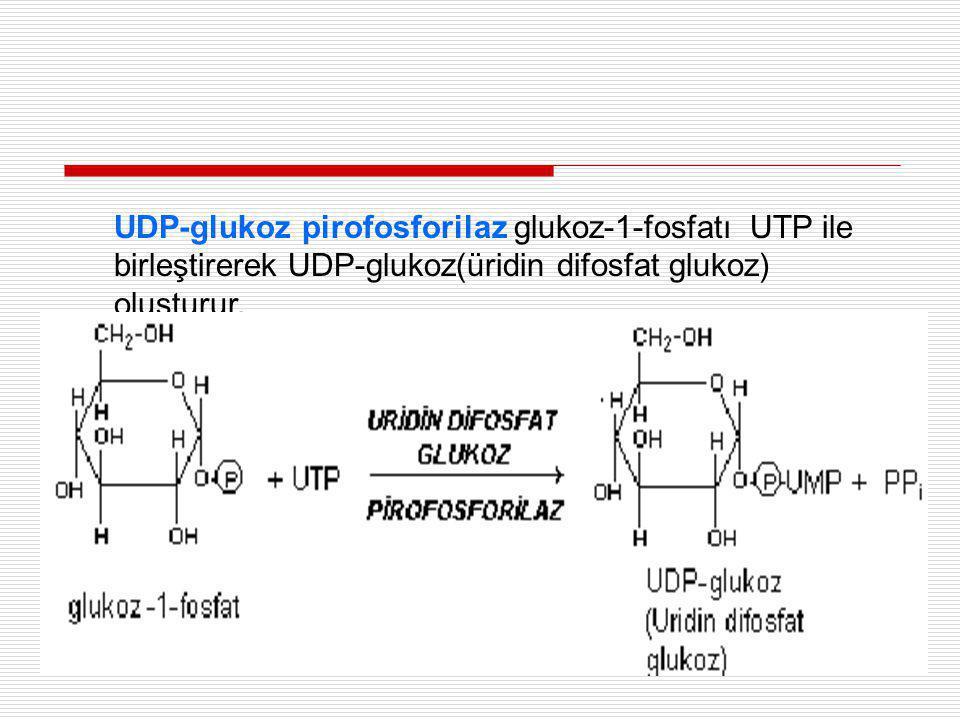 UDP-glukoz pirofosforilaz glukoz-1-fosfatı UTP ile birleştirerek UDP-glukoz(üridin difosfat glukoz) oluşturur.