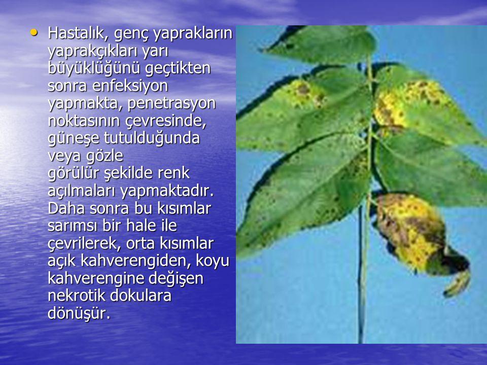 Hastalık, genç yaprakların yaprakçıkları yarı büyüklüğünü geçtikten sonra enfeksiyon yapmakta, penetrasyon noktasının çevresinde, güneşe tutulduğunda veya gözle görülür şekilde renk açılmaları yapmaktadır.