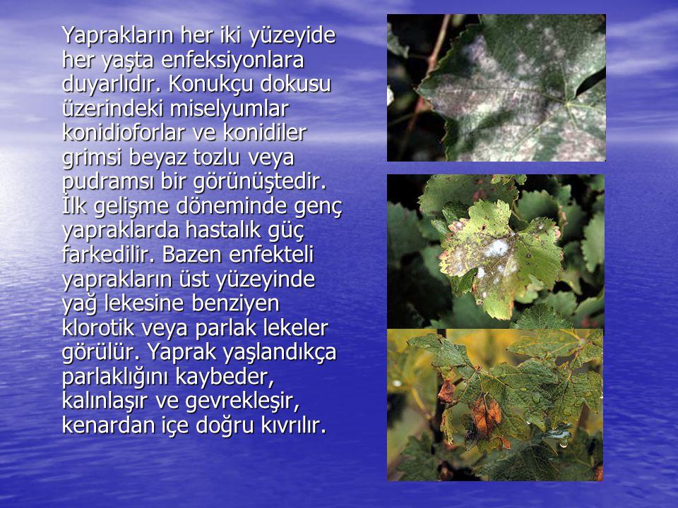 Yaprakların her iki yüzeyide her yaşta enfeksiyonlara duyarlıdır