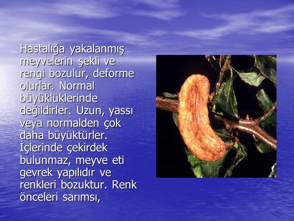Hastalığa yakalanmış meyvelerin şekli ve rengi bozulur, deforme olurlar.