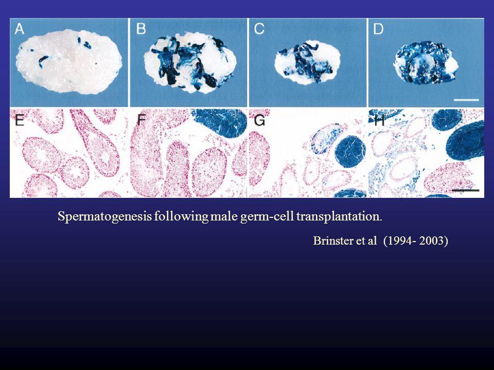 Spermatogenesis following male germ-cell transplantation.
