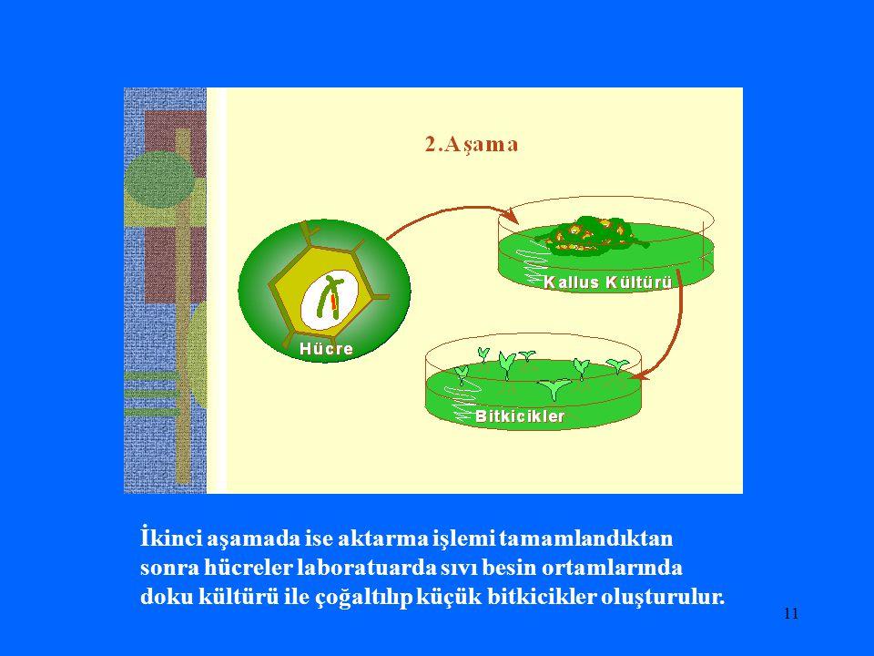 İkinci aşamada ise aktarma işlemi tamamlandıktan sonra hücreler laboratuarda sıvı besin ortamlarında doku kültürü ile çoğaltılıp küçük bitkicikler oluşturulur.