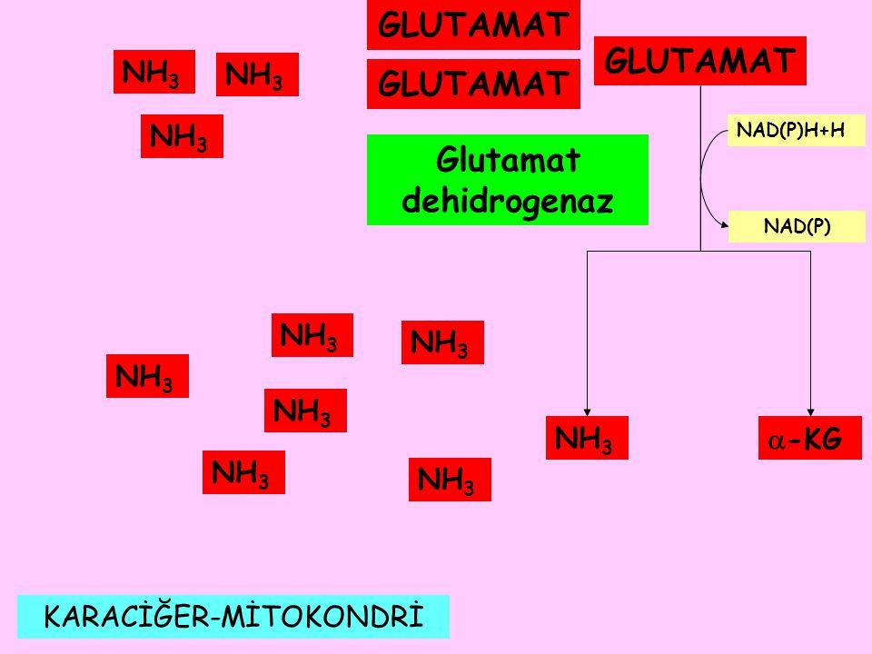 Glutamat dehidrogenaz