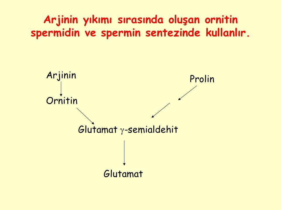 Arjinin yıkımı sırasında oluşan ornitin spermidin ve spermin sentezinde kullanlır.