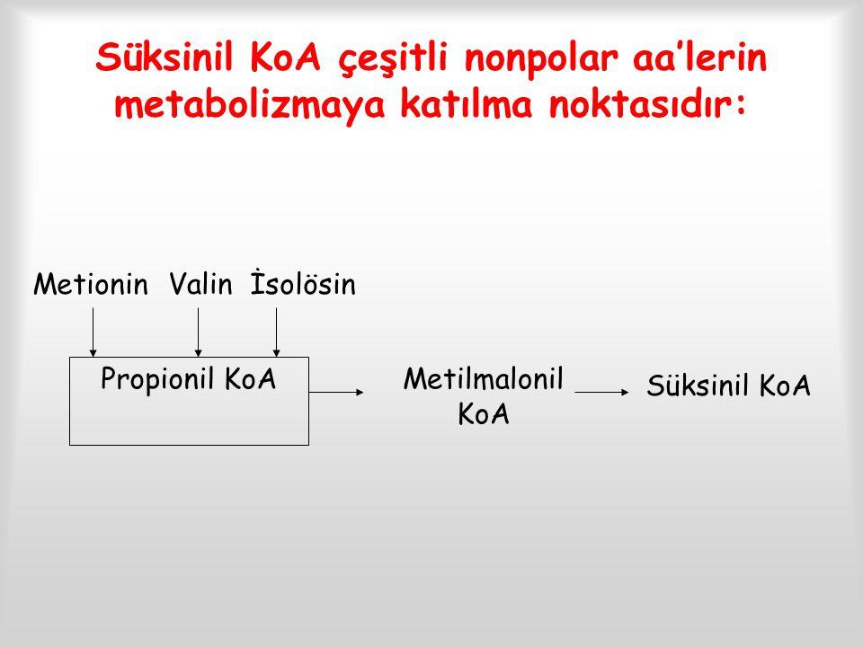 Süksinil KoA çeşitli nonpolar aa'lerin metabolizmaya katılma noktasıdır: